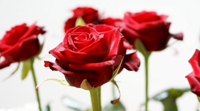 Event_long_stem_red_roses